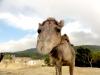 gradileva-camello